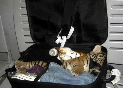 Bébé tigre trouvé dans une valise à l'aéroport de Bangkok