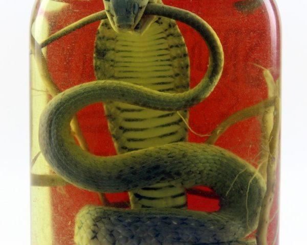 Vin de Serpent Snake Wine Authentique du Vietnam